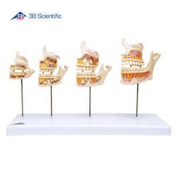דגם התפתחות הפה ושיניים