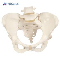דגם עצמות אגן של נקבה