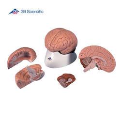 דגם מוח 4 חלקים על בסיס נשלף