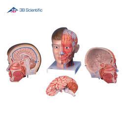 דגם ראש וצוואר 4 חלקים