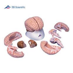דגם מוח בעל 8 חלקים