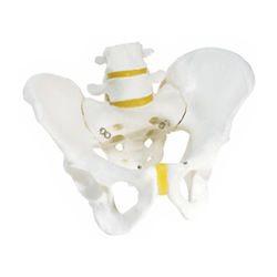 דגם עצמות אגן של זכר