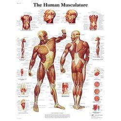 מפת מערכת השרירים