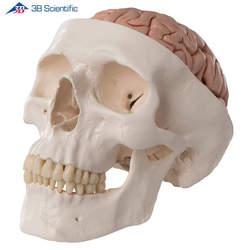 דגם גולגולת עם מוח 8 חלקים