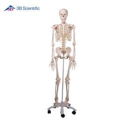 דגם שלד אדם בגודל טבעי -STAN