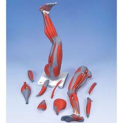 דגם שרירי הרגל 9 חלקים