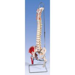 דגם עמוד שדרה גמיש עם ראשי עצם הירך ושרירים מצויירים