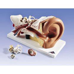 דגם אוזן 4 חלקים בגודל פי 3 מהגודל הטבעי