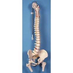 דגם עמוד שדרה גמיש עם ראשי עצם הירך