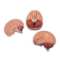 דגם מוח 2 חלקים