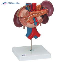 דגם כליות עם איברים אחוריים של הבטן העליונה