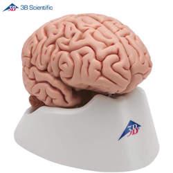 דגם מוח קלאסי