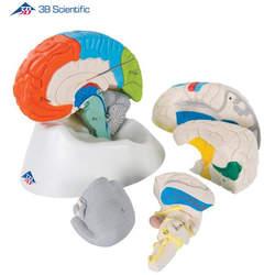 דגם מוח נוירו-אנטומי 8 חלקים