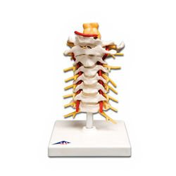 דגם עמוד שדרה צווארי