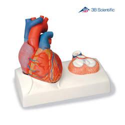 מודל לב אנושי בגודל טבעי 5 חלקים עם בסיס