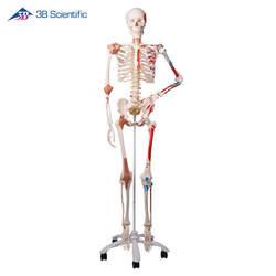 שלד אדם גמיש עם שרירים מצוירים ורצועות  - SAM