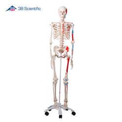 שלד גוף האדם דגם Max