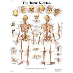 מפת שלד גוף האדם