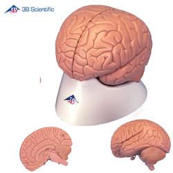דגם מוח בסיסי 2 חלקים