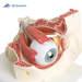 דגם עין אנטומי בעל 7 חלקים 3B Scientific