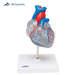 דגם לב בעל 2 חלקים עם מערכת זרימת דם 3B Scientific