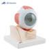 דגם עין בעל 7 חלקים 3B Scientific