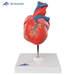 דגם לב אנושי 2 חלקים  3B Scientific