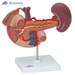 דגם איברים אחוריים של הבטן העליונה  3B Scientific