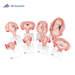 דגם סדרה התפתחות ההיריון   3B Scientific
