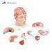 דגם מוח עם עורקים ובסיס הראש   3B Scientifi
