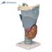 דגם גרון פונקציונאלי בגודל פי 2.5 מהגודל הטבעי  3B Scientific