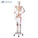 שלד אדם גמיש עם שרירים מצוירים ורצועות  - SAM 3B Scientific