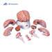 דגם של מוח 9 חלקים עם עורקי המוח 3B Scientific