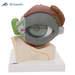 דגם עין בעל 8 חלקים 3B Scientific