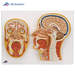 דגם ראש אנטומי עם חיתוך כפול בצד ומקדימה 3B Scientific