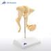 דגם עצמות השמע 3B Scientific